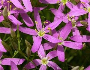 Fleurs de clematite